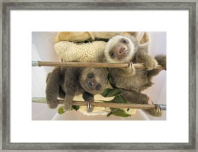 Hoffmanns Two-toed Sloth Orphaned Babies Framed Print