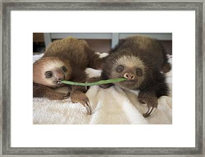 Hoffmanns Two-toed Sloth Orphans Eating Framed Print by Suzi Eszterhas