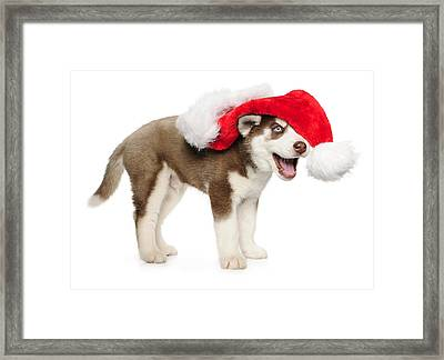 Holday Puppy Husky Framed Print