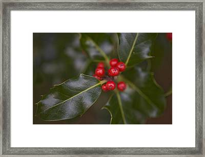 Holly Berries On A Bush Framed Print by Taylor S. Kennedy