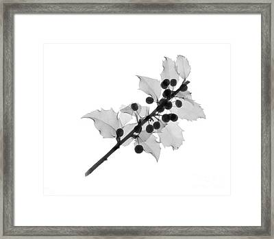 Holly Framed Print by Ted Kinsman