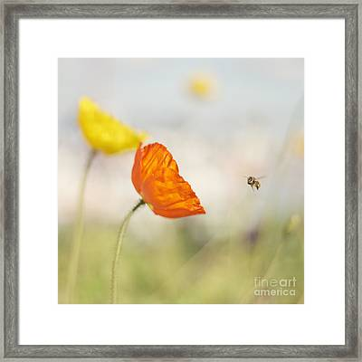 Honey Bee And Colorful Poppies Framed Print