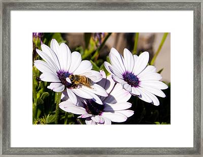 Honey Bee On Blue Eyed Daisies Framed Print by Anthony Citro