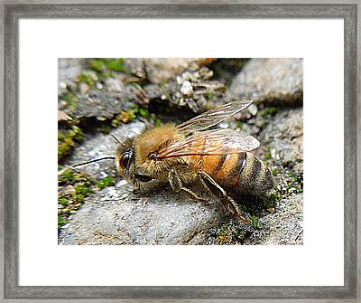 Framed Print featuring the photograph Honey Bee On Rocks by Renee Trenholm