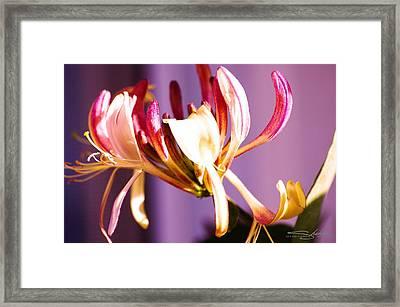 Honey Suckle Flower Close Up Framed Print