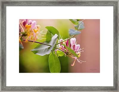 Honey Suckle Flower Framed Print