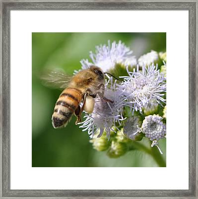 Honeybee At Work Framed Print