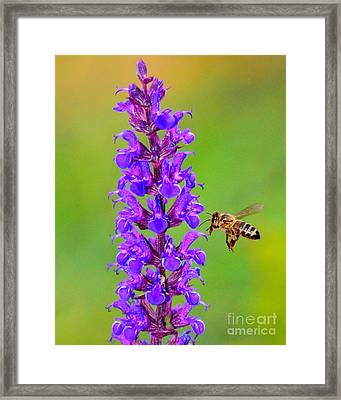 Framed Print featuring the photograph Honeybee N Blooms by Jack Moskovita