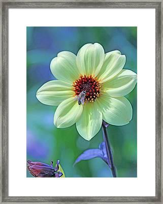 Honeybee On Yellow Flower Framed Print by Becky Lodes