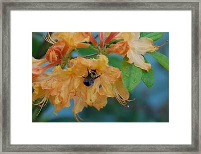 Honeydue Framed Print