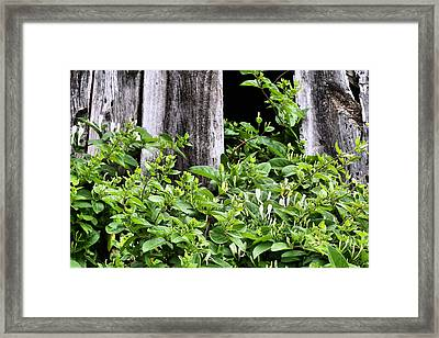 Honeysuckle II Framed Print by JC Findley