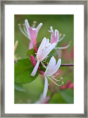 Framed Print featuring the photograph Honeysuckle by JD Grimes