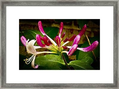 Honeysuckle Two Framed Print by Michael Putnam