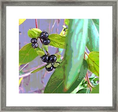 Honeysuckle Vine Berries Framed Print