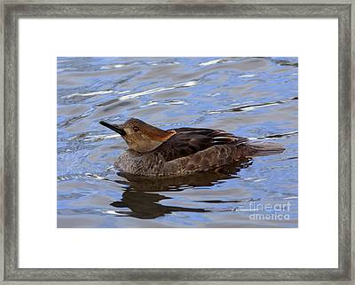 Hood Merganser Visits The Stream At Twilight Framed Print by Inspired Nature Photography Fine Art Photography
