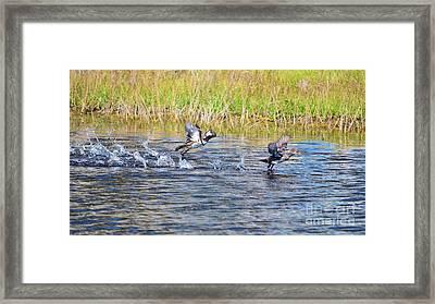Hooded Mergansers Take Flight Framed Print