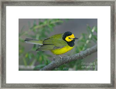 Hooded Warbler Framed Print by Clarence Holmes
