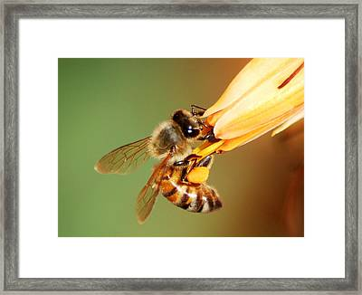 Hooked Bee Framed Print by Meeli Sonn