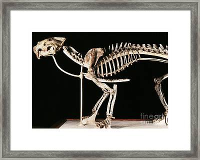 Hoplophoneus Primaevus Framed Print by Science Source