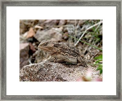 Horned Toad Framed Print by FeVa  Fotos