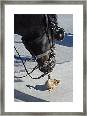 Horse Feathers Framed Print by Lisa Phillips