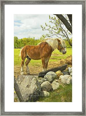 Horse Near Strone Wall In Field Spring Maine Framed Print