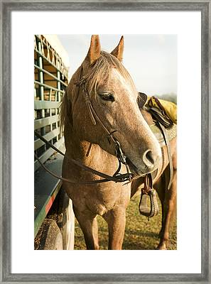 Horse Tied To Trailer Framed Print
