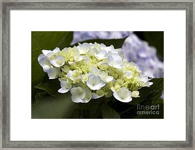 Hortensia Framed Print by Patty Malajak