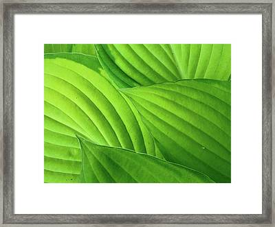 Hosta Leaves Framed Print by Photograph by Judith Green