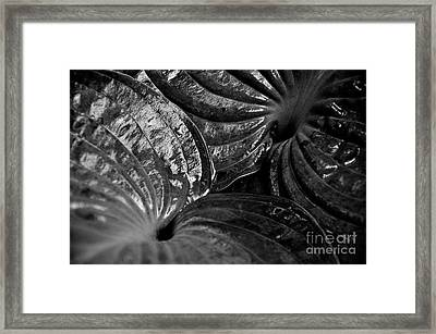 Hosta Leaves Framed Print by Tanya  Searcy