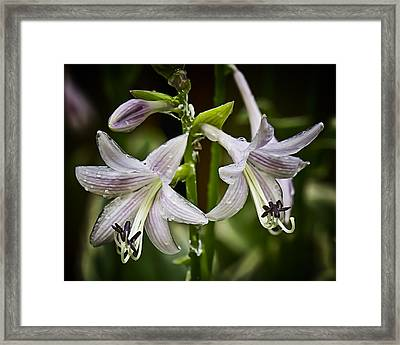 Hosta Makes Three Framed Print by Michael Putnam