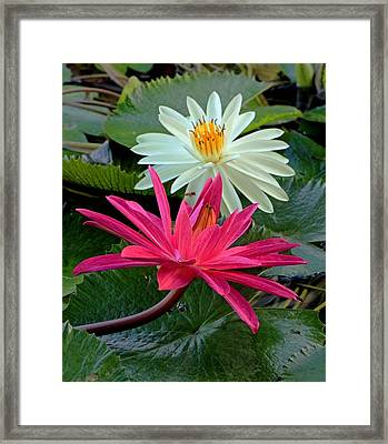 Hot Pink And White Water Lillies Framed Print by Larry Nieland