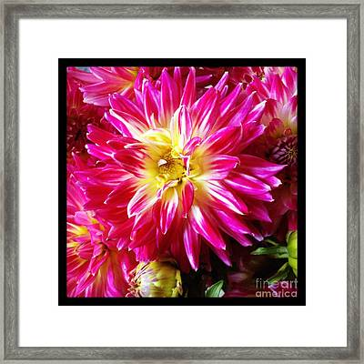 Hot Pink Dahlias Framed Print by Ruby Hummersmith