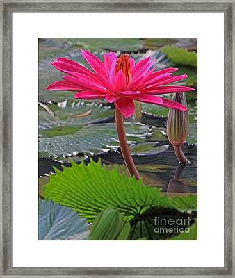 Hot Pink Waterlily Framed Print by Larry Nieland