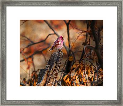House Finch High And Lifted Up Framed Print by J Larry Walker
