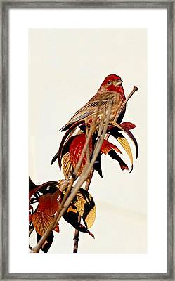 Framed Print featuring the photograph House Finch Perch by Elizabeth Winter
