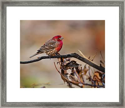 House Finch Sitting Pretty Framed Print by J Larry Walker