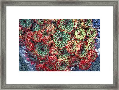 Houseleek Plants Framed Print