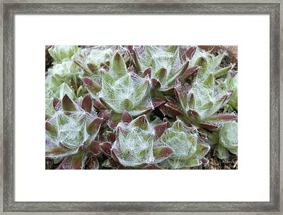 Houseleek Rosettes Framed Print by Archie Young