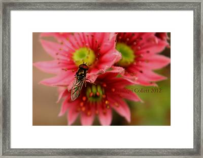 Hover Fly II Framed Print by Jacqui Collett