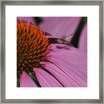 Hoverfly Hovering Over Cornflower Framed Print