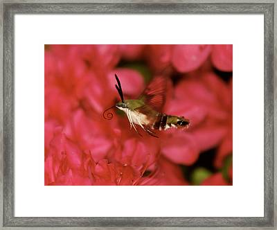 Hovering Clearwing Hummingbird Moth Framed Print by Lara Ellis