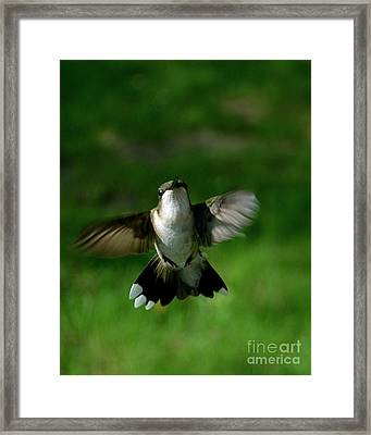 Hovering Hummingbird  Framed Print by Sue Stefanowicz
