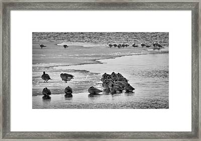 Framed Print featuring the photograph Huddled Honkers by Kevin Munro