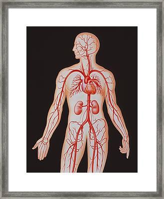 Human Arterial System Framed Print by John Bavosi