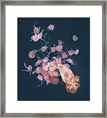 Human Blood Cells, Sem Framed Print by