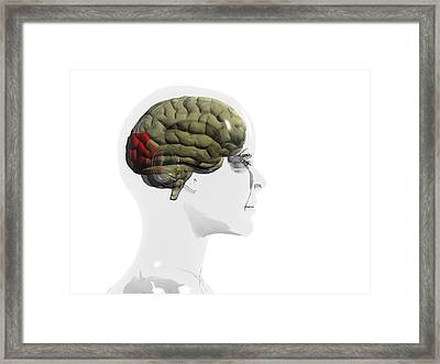 Human Brain, Occipital Lobe Framed Print by Christian Darkin