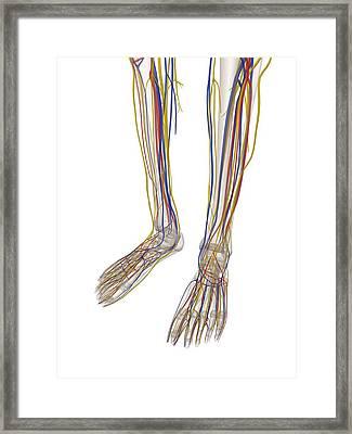 Human Lower Leg Anatomy, Artwork Framed Print by Sciepro