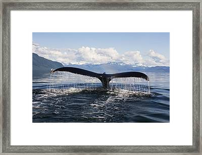 Humback Whale Diving With Tail Flukes Framed Print by James Forte