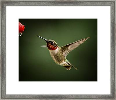Hummer In The Garden One Framed Print by Michael Putnam